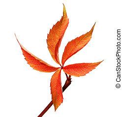 Orange autumnal grapes leaf Parthenocissus quinquefolia...