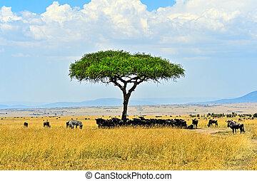 Masai Mara wildebeest - Great Migration of wildebeest in...