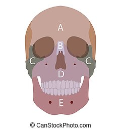 head bones - vector illustration of human head bones types....