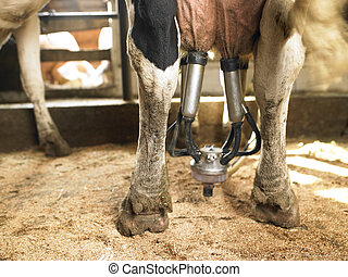 Milking a Cow - Lower rear view of a machine a milking cow....