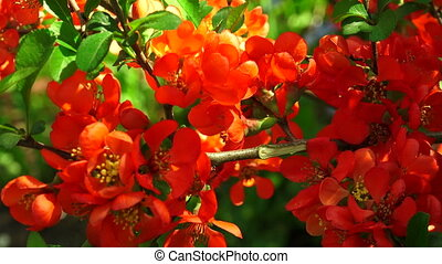 Quince Red flowers Shot in 4K ultra-high definition UHD, so...