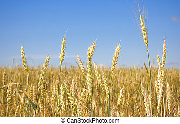 Wheat before harvest (yield\'s field).