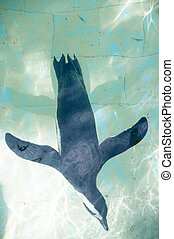 african penguin in a swimming pool