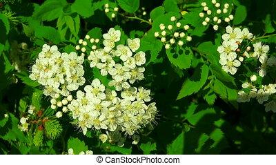 The bird cherry. White flowers.