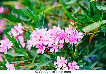Oleander shrub, pink rose flowers with leaves Nerium...