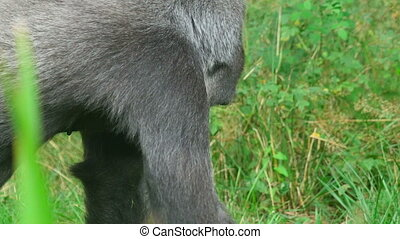 Gorilla picks and eats green grass