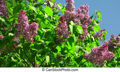 Lilac flowers Shot in 4K ultra-high definition UHD, so you...