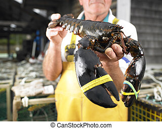 Man Holding Lobster - Man holding lobster with bound claws....