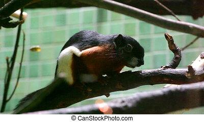Beautiful asian squirrel on branch - Callosciurus squirrel...