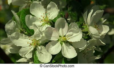 Apple blossom. Shot in 4K (ultra-high definition (UHD)), so...