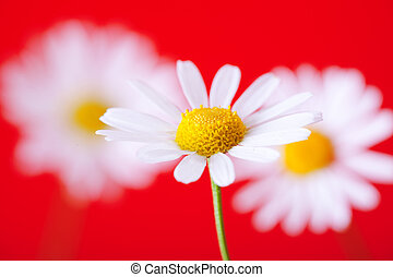 white with yellow camomiles on red