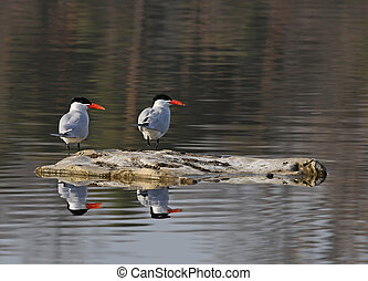 Caspian Terns Reflection - A pair of Caspian Terns...