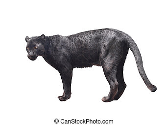 black panther isolated on white background