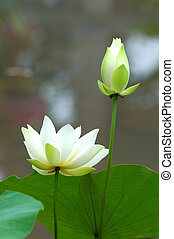 White lotus flower - Close up of blooming white lotus flower...