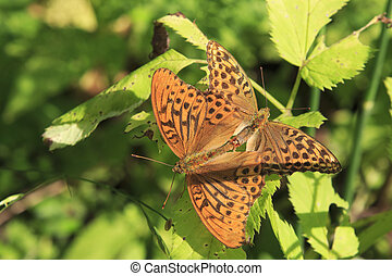 Dark Green Fritillary butterfly Argynnis aglaja - Dark Green...
