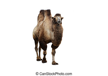 bactrian camel and other animals in cage of zoo