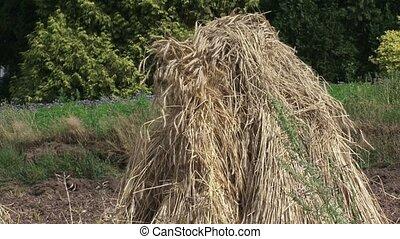 Sheaf of corn in field. A bundle of grain stalks tied...