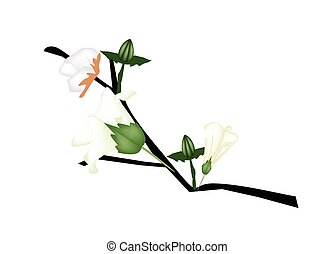 Fresh Cotton Flower with Bud on Branch