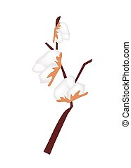 Branch of Ripe Cotton on White Background