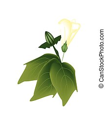 Yellow Cotton Flower with Bud on A Branch