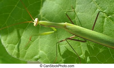 Insect on plant sheet - Insect of Mantis religiosa on plant...