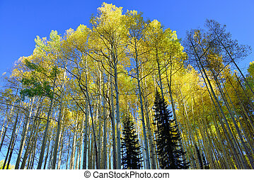 yellow and green aspen during foliage season on Kebler and...