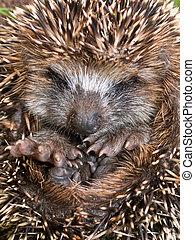 Young Hedgehog close up - Hedgehog Erinaceus, europaeus in...