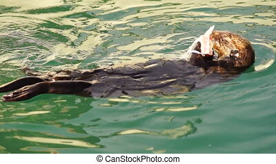 Wild Sea Otter Eats Fresh Fish Reserrection Bay Animal...