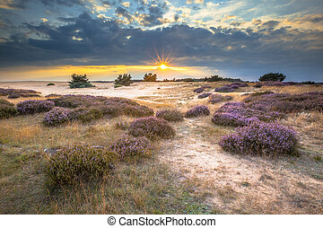 Hoge Veluwe Sand Heathland - Heathland and shifting sands in...