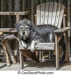 Large Gray Dog Relaxing in a Chair - A large gray...
