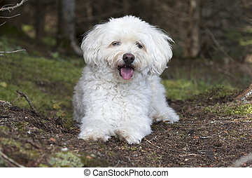 Small White Dog Panting as it Takes a Rest on a Forest Walk...