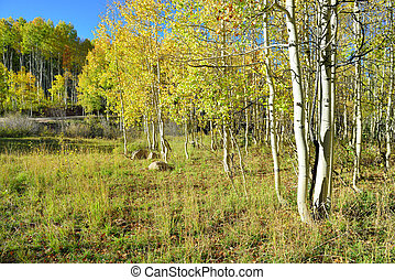 yellow and green aspen during foliage season at Kebler and...
