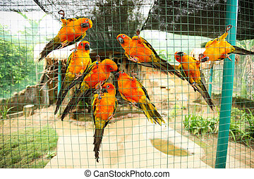 Sun conure parrots in aviary - Group of sun conure parrots...
