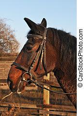 Horse partrait - Portrait profile of brown horse closeup,...
