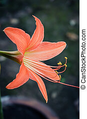 Big orange flowers, Hippeastrum Amaryllis - Big orange...