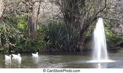 White ducks swim near fountain - Four white ducks swim near...