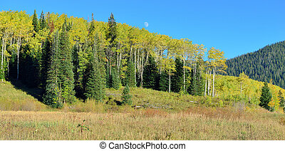 yellow and green aspen and during foliage season - landscape...