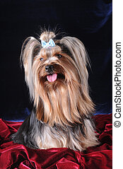 Sitting lap dog portrait - Sitting yorkshire terrier...