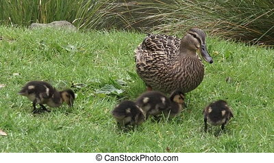 Female Mallard with ducklings - Female Mallard wild duck...