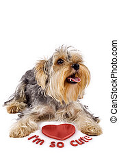 yorkshire terrier with a 3d heart - picture of a yorkshire...