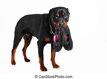 dog and slippers - a rottweiler holding slippers in his...