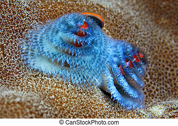 christmas tree worm - commonly found in the coral crevices,...