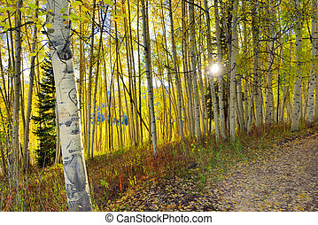 sun shining through the tall yellow and green aspen in the...