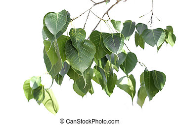 Brancg of bo leaf isolated - Branch of bo leaf isolated in...