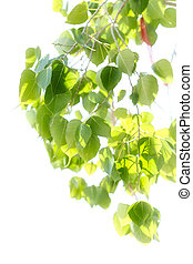 Soft blur background of Bo leaf isolated in white background