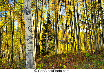 forest of tall yellow and green aspen during foliage season...