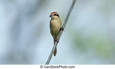 Brown Shrike bird perching on the metal wire with bokeh...