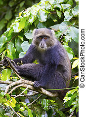 Blue monkey sitting in tree - Blue monkey or sykes monkey...