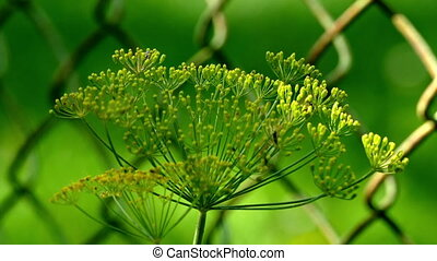 Dill on the background grid UHD