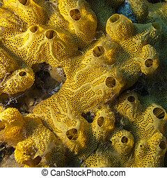 amarillo, esponja, en, fondo, de, tropical, seaa, submarino,...